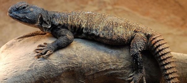 Can Bearded Dragons and Uromastyx live together
